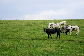 The cows of the Ardennes