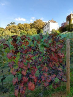 Les Vignes du Clos Montmartre (what can be seen through the fence)