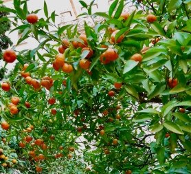 The oranges of Valencia