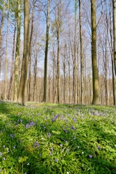 Hallerbos bluebells in early bloom