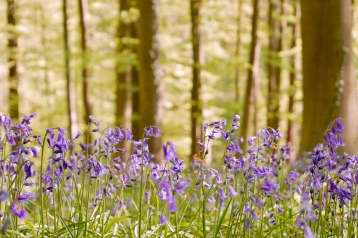 The bluebells of the Hallerbos forest